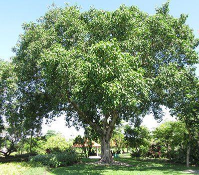 菩提花_仏教の三大聖樹(無憂樹・印度菩提樹・沙羅双樹)とはどんな ...